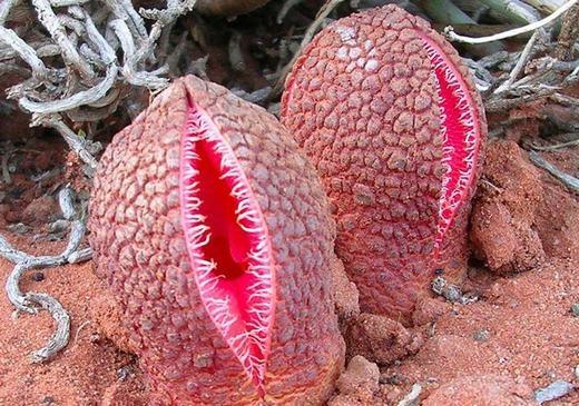 Chúng sẽ sản sinh ra hàng chục ngàn hạt giống để phát tán trong không khí. Tuy nhiên, thời gian không phải là nhanh mà phải mất đến hai năm để chúng có thể chín hoàn toàn.