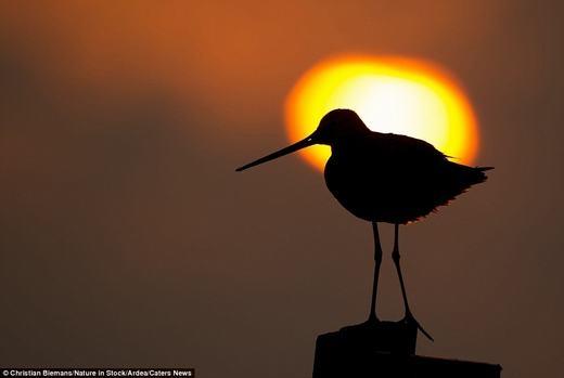 Chú chim Godwit đuôi đen đang nhìn về phía biển.