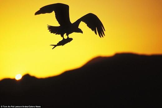 Một con chim đại bàng đang tha mồi về cho đàn con.