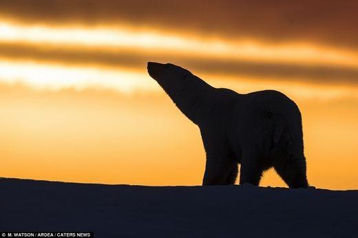 Chú gấu bắc cực có vẻ như đang lạc lõng giữa một vùng lạnh giá.