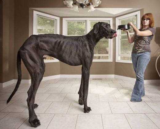 Zeus được sách kỉ lục Guinness ghi nhận là chú chó cao nhất thế giới với 1,12 mét tính từ móng tới vai và 2,18 mét nếu đứng lên bằng hai chân sau.Chính cơ thể khổng lồ này mà trẻ con khi nhìn thấy Zeuscứ nhầm tưởng là một chú ngựa.