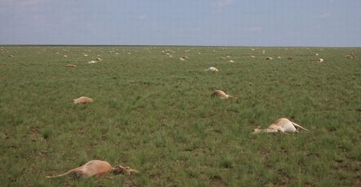 """60.000 linh dương chết hàng loạt, có """"điều gì đó"""" sắp xảy ra?"""