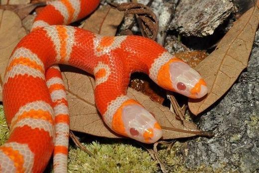 """Ngạc nhiên trước vẻ đẹp """"kiêu sa"""" của chú rắn 2 đầu trị giá 1-tỉ-đồng"""