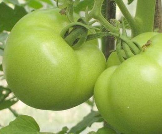Giới khoa học còn cảnh báo ăn cà chua xanh sống càng nguy hiểm.