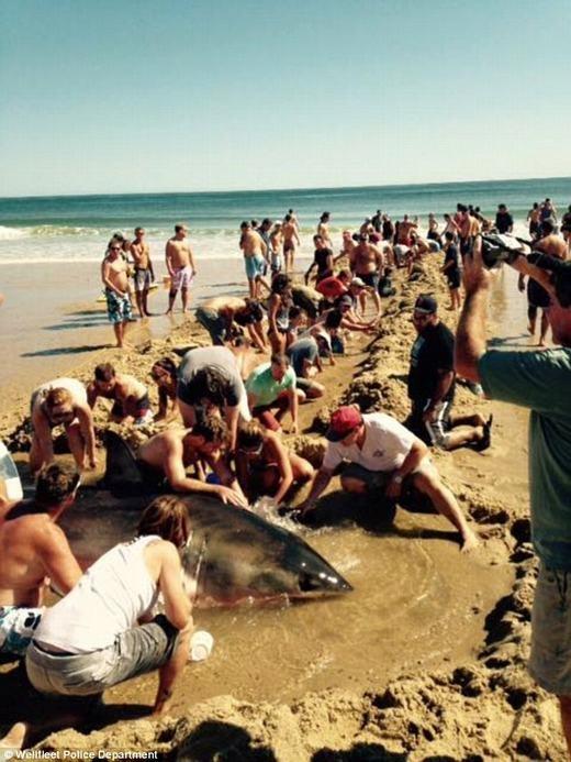 Tuy nhiên, ngay sau đó, mọi người nhanh chóng nhận thấy chú cá này trôi dạt vào bờ vì bị thương, nên đã nhanh chóng giải cứu bằng cách đào một rãnh lớn.