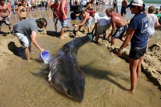 Những hình ảnh giải cứu cá mập của người dân và khách du lịch