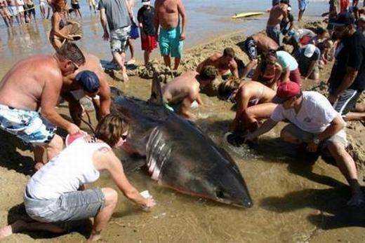 Hàng trăm người liều mình cứu sát thủ đại dương mắc cạn