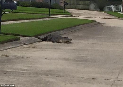 Tá hỏa cá sấu chui từ cống lên tấn công nhà dân