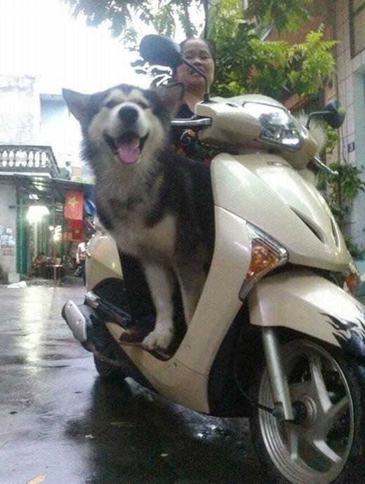 """Hài hước những thú cưng được cậu chủ """"bá đạo"""" dắt đi """"ngao du"""