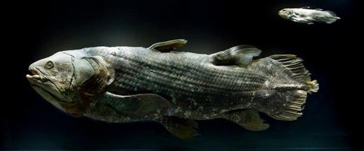 Tiêu bản của cá vây tay
