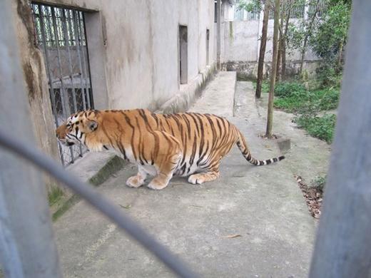 Hổ được nuôi tại Khu du lịch Trại Bò.