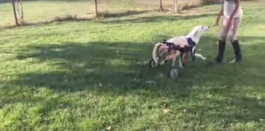 """Cuối cùng, chú đã được cô chủ """"trang bị"""" cho một đôi chân mới bằng bánh xe. Hiện Lawson đã tốt hơn rất nhiều, đã ăn uống, có thể di chuyển và vui đùa."""