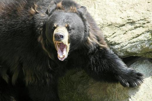 Mất ngón tay vì cho gấu ăn (Wisconsin, Mỹ): Năm 2010, một phụ nữ 47 tuổi tên Tracy Weiler đã uống say trước khi cùng bạn trai và cháu gái tới sở thú Công viên Lincoln ở Manitowoc, Wisconsin, Mỹ. Weiler cho rằng những con gấu chưa đủ no và quyết định sẽ cho chúng ăn. Cô đã trèo qua nhiều rào chắn dù đã có biển cảnh báo tránh xa những con gấu hay đưa thức ăn cho chúng. Weiler đã bị cắn đứt ngón tay trỏ và ngón tay cái. Những ngón còn lại cũng phải cắt bỏ một phần. Bạn trai cô cũng bị cắn khi cố lôi Weiler khỏi hàm răng con gấu. Mỗi người phải nộp phạt 681 USD. Ảnh: Flickriver.