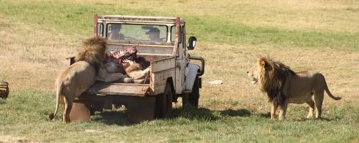 Công viên sư tử (Nam Phi): Hồi tháng 6, một nữ du khách đã mất mạng trong chuyến tham quan một công viên hoang dã tư nhân ở Johannesburg, Nam Phi. Cô đã hạ cửa kính xuống để chụp ảnh (dù đây là điều tuyệt đối bị cấm khi ở công viên), một con sư tử đã lao vào tấn công và cắn cô qua cửa sổ. Người lái xe đấm con sư tử và cũng bị thương. Các nhân viên nhanh chóng đuổi con sư tử khỏi xe, đáng tiếc là nữ du khách không qua khỏi. Ảnh: Zhinolion.