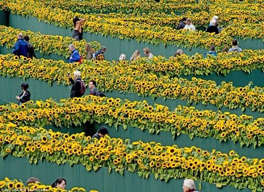 Để kỉ niệm ngày khánh thành lối đi mới vào viện bảo tàng Van Gogh ở Amsterdam, một mê cung làmtừ 125.000 cây hoa hướng dương đã được tạo ra để chào đón khách tham quan.(Ảnh:Internet)