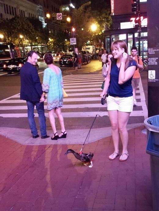 Cô gái thu hút người đi đường khi đi dạo phố đêm cùng một chú vịt trời.