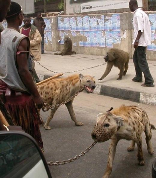 Loài vật hoang dã như linh cẩu cũng được chọn làm thú cưng. Có lẽ vì quá hung tợn, mõm của chúng bị buộc lại vì mục đích an toàn. Nhiều người cho rằng đây là hành động ngược đãi động vật trắng trợn!