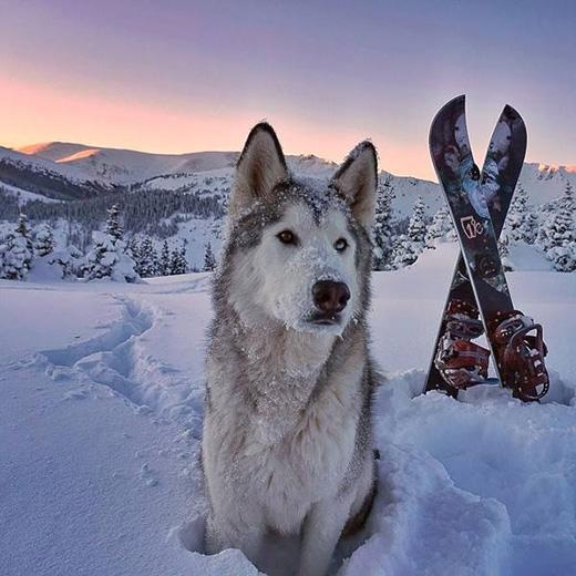 Mê mẩn chú chó lai sói được chu du khắp thế giới