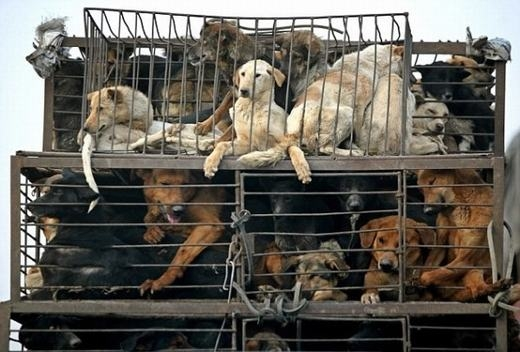 Những chú chó bị bắt và chất lên xe. (Ảnh: Internet)