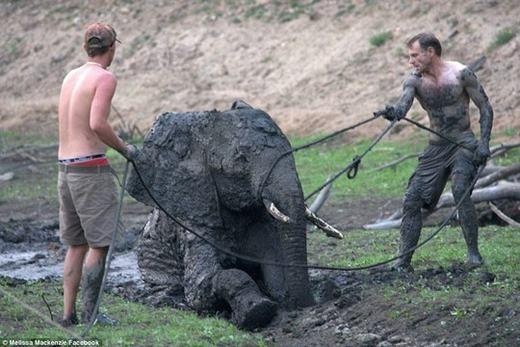 Tất cả các nhân viên đều nỗ lực giữa trời nắng nóng, mong chú voi có thể thoát khỏi vũng bùn khi bắt đầu có dấu hiệu đuối sức.