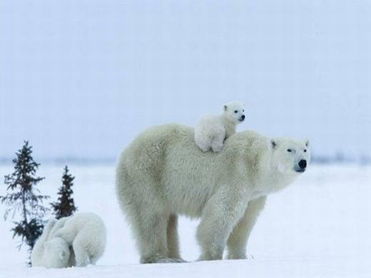 Loài gấu trắng Bắc cực được biết đến như là loài mập mạp do tích trữ nhiều mỡ. (Ảnh: Internet)