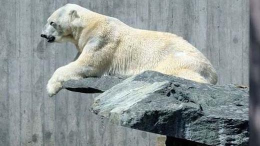 Một chú gấu trắng đang rình mồi. (Ảnh: Internet)