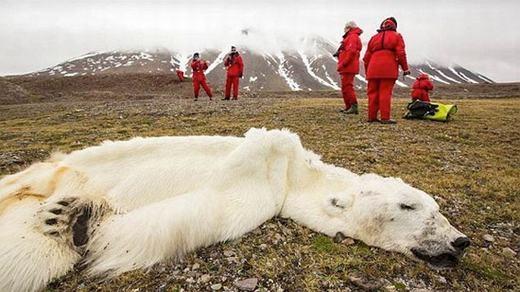 Những hình ảnh đau thương về loài gấu trắng chết đói trước đó. (Ảnh: GWI)