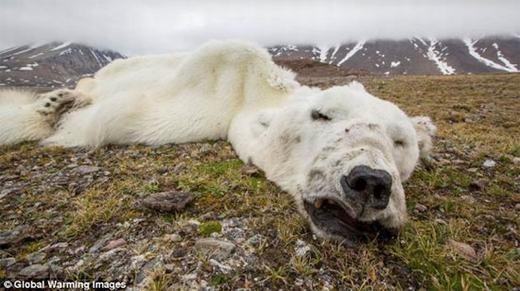 Bàng hoàng trước hình ảnh gấu Bắc cực da bọc xương