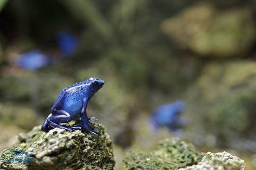 Còn đây là ếch phi tiêu độc. Đúng như cái tên, cơ thể của nó rất độc, đặc biệt là phần da màu xanh. (Ảnh: Sina)