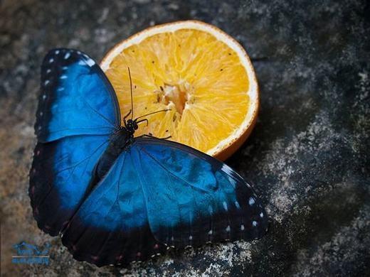 Màu xanh dương cũng xuất hiện trên một loài bướm có tên gọi là bướm xanh. Tự nhiên có khá ít loài bướm có màu xanh dương như thế này. (Ảnh: Sina)