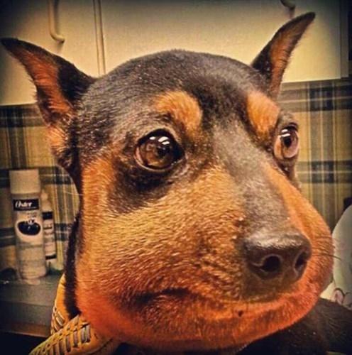 Vừa xấu hổ vừa đau, chú chó này ngượng nghịu không dám nhìn vào máy ảnh.