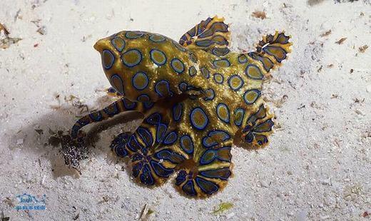 Loài bạch tuộc này có những đốm xanh bên ngoài độc đáo. Tuy nhiên, đừng vội chạm vào những đốm đó bởi bạn có thể bị nhiễm độc và tử vong trong vài giờ nếu không cấp cứu kịp thời. (Ảnh: Sina)