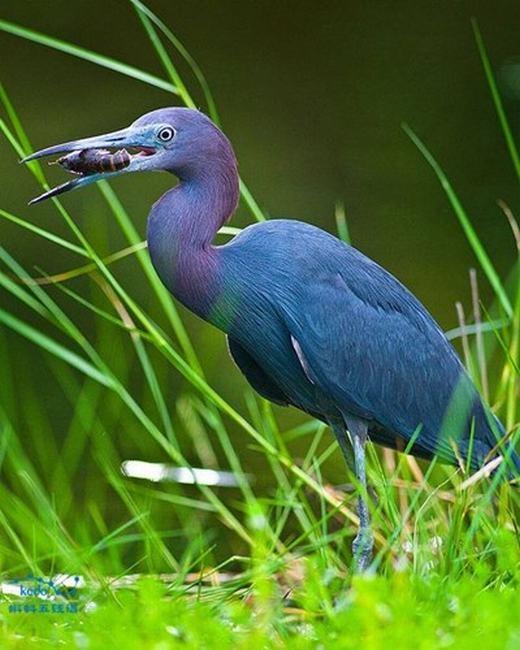 Diệc xanh lớn cũng là loài vật sở hữu bộ lông màu xanh da trời đẹp tuyệt mĩ. Bên cạnh đó, phần cổ của loài diệc này có thêm màu tía càng làm nó nổi bật hơn giữa vùng đầm nước. (Ảnh: Sina)