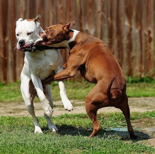 """""""Chọi chó"""" cũng là một trong những nguyên nhân khiến chó trở nên hung dữ và tàn bạo."""