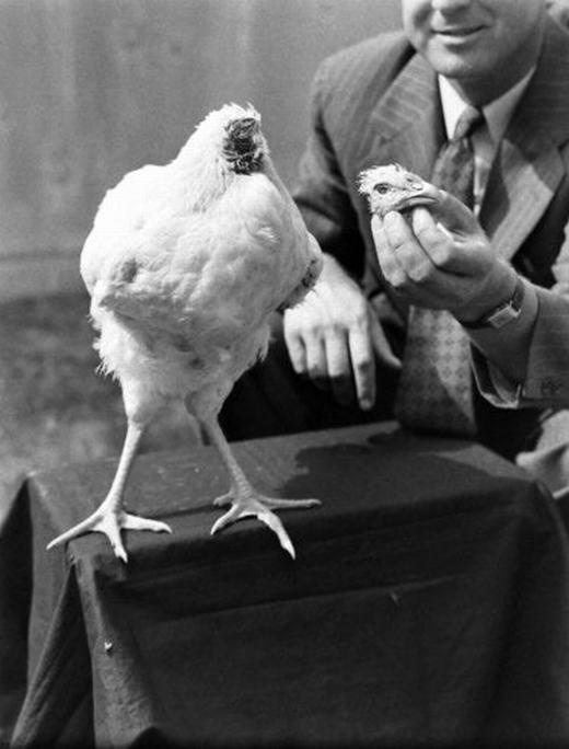 Chiếc đầu chú gà đã bị tách rời.(Ảnh: Internet)