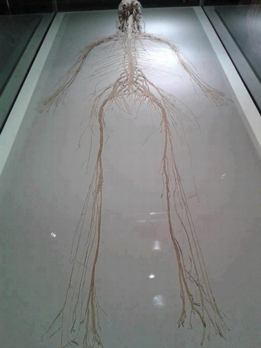 Toàn bộ các dây thần kinh trong cơ thể chúng ta khi tách ra sẽ như thế này. (Ảnh: Internet)
