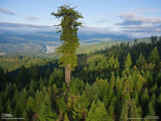 Chiếc cây cao nhất thế giới, Hyperion. (Ảnh: Internet)
