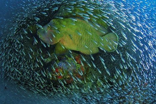 Một chú cá lớn bị bao vây bởi hàng ngàn cá con. (Ảnh: Internet)