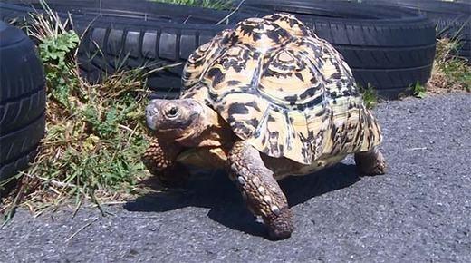 Được biết, Bertie là giống rùa báo hay còn gọi là rùa da báo do trên cơ thể chúng có những vệt giốnglông loàibáo đốm. Loài rùa này khá lạ khi không đào hang mà chỉ có thể khoét lỗ đẻ trứng. Môi trường sống của chúng chủ yếu là đồng cỏ. (Ảnh: Internet)