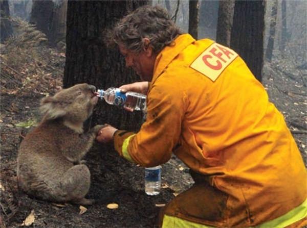 Một người lính cứu hỏa cho chú gấu koala uống nước sau vụ cháy rừng quy mô lớn do hạn hán ở Úc, 2009.