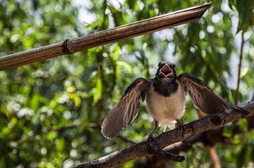 Mẹ chim bảo vệ tổ - Mèo Vạc, Hà Giang.(Nguồn: Matador Network)