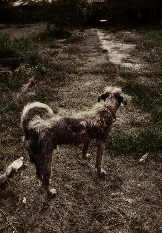 Ban đầu, chú chó được tìm thấy khi đanglang thang tìm nơingủ ở các khu nhà hoang, nơi vắng người.(Ảnh: Internet)