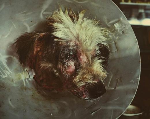 Có lẽ, người chủ cũ đã bỏ rơi chúsau khi chuyển đi chỗ mới.Do bị đói lâu ngày và không được chăm sóc tử tế, chú chó rụng hết lông và bị thương ở phần cổ sau một tai nạn.(Ảnh: Internet)