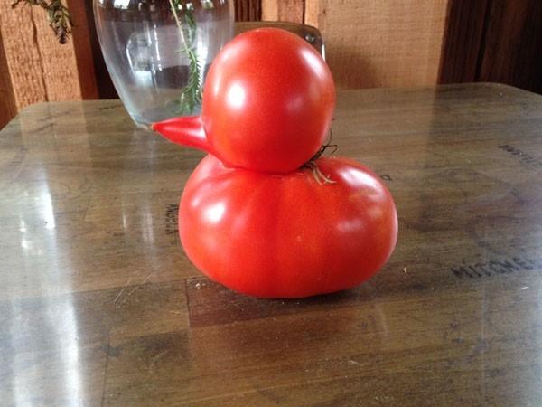 Quả cà chua hình chú vịt con.