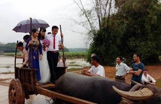 Hình ảnhmột đám cưới màchú rể và cô dâu phải dùng xe trâu để vượt nước lũ khiến dân mạng vô cùng quan tâm, thích thú.(Ảnh: Internet)