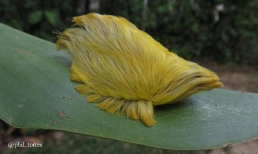 """Được người dân bản địa gọi là """"bộ tóc giả độc hại"""", Puss Caterpillar cực kì nguy hiểm. Các bậc phụ huynh luôn cảnh báo con em mình không được sờ vào nó nếu nhìn thấy. (Ảnh: Internet)"""