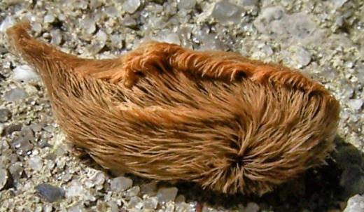 Bên ngoài, nó trông giống một chú mèo nhiều lông đang nằm. Nhưng đừng dại mà đụng vào bộ lông đẹp mắt đó, hành động này sẽ khiến bạn bị nguy hiểm đấy.(Ảnh: Internet)