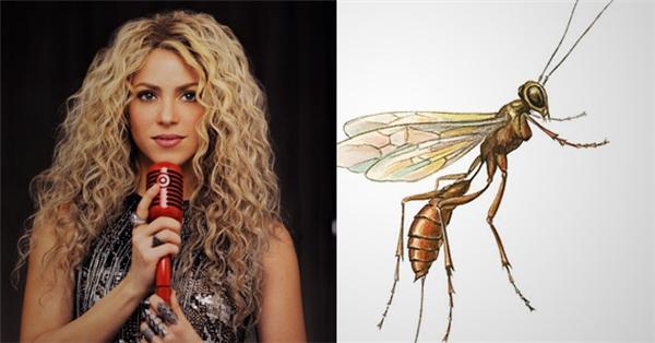 Aleiodes shakirae - một loài ong bắp cày thường đẻ trứng kísinh vào sâu bướm, được đặt theo tên của nữ ca sĩ Shakira.