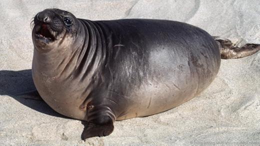 Thế giới động vật cũng có rất nhiều điều kì thú vàngược đời. Chẳng hạn, hải tượng trưởng thành thìít mỡ, nhưng hải tượng con có tới 50% cơ thể là chất béo khi mới cai sữa. Và không chỉ hải tượng màhải cẩu hay hải mã cũng có đặc điểm này. (Ảnh: Internet)