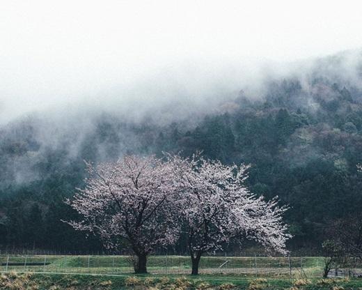 Làn sương trắng phủ nhẹ lên hai cây anh đào uyển chuyển giữa trời.(Nguồn: Bored Panda)